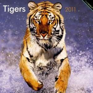 2011 Animal Calendars Tigers   12 Month   30x30cm